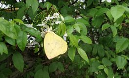 Yellow butterfly on Wild Water Plum flowers Stock Photo