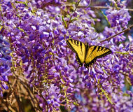 Yellow Butterfly in Wisteria Royalty Free Stock Photos