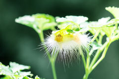 Yellow butterfly worm. On green tree Stock Images