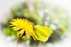Yellow Butterfly on a yellow dandelion Royalty Free Stock Image