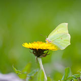 Yellow butterfly on yellow flowers Stock Image