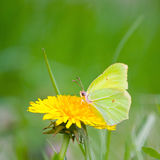 Yellow butterfly on yellow flowers Royalty Free Stock Photography