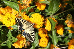 Yellow butterfly in yellow flowers. Yellow butterfly with fully open wings in yellow flowers Stock Images