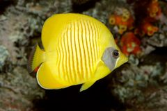 Yellow butterflyfish Royalty Free Stock Photos