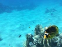 Yellow butterflyfish stock image