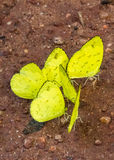 Yellow butterflys Stock Images