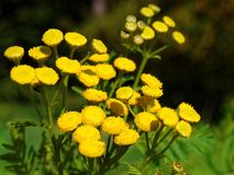 Yellow Tansy flowers radiant in the sunlight at fall. The yellow and button-like flowers of the herbaceous plant Tansy, radiant in the sunlight, growing in a royalty free stock photography