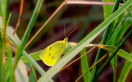 Yellow Cabbage Butterfly Stock Image