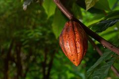 Cacao bean hang on tree. Yellow cacao bean hang on tree . Macro of natural cocoa pod Royalty Free Stock Photos