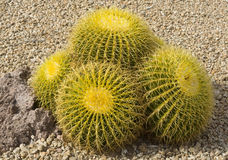 Yellow cactus Stock Images