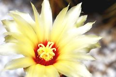 Yellow cactus is blooming in garden royalty free stock photography