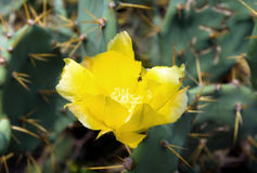 Yellow cactus flower Royalty Free Stock Photography