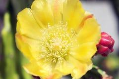 Free Yellow Cactus Flower Royalty Free Stock Photos - 165974858