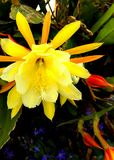 Yellow Cactus Flower Royalty Free Stock Images