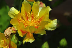 Yellow cactus flower. Cactus flower anatomy has received little attention. Flowers are large and showy in many genera, with dozens of petals and stamens rather Stock Images
