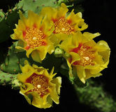 Yellow cactus flower. Cactus flower anatomy has received little attention. Flowers are large and showy in many genera, with dozens of petals and stamens rather Stock Photography
