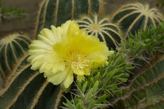 Yellow Cactus Flower in Bloom Stock Photography
