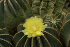 Yellow Cactus Flower in Bloom Royalty Free Stock Photo