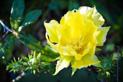 Yellow Cactus Flower on Dark Green Background. Pretty Yellow Cactus Flower on Dark Green Bokeh Background, Rustic, Southwest, Texas Royalty Free Stock Images