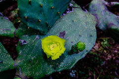Yellow cactus flower. Cactus leaf with multiple new yellow flowers Royalty Free Stock Photos