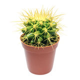 Yellow cactus in flowerpot. Plants and flowers: single cactus with yellow spikes in flowerpot, close-up shot, isolated on white background Royalty Free Stock Photo