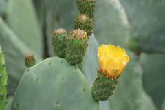 Yellow Cactus Flowers Royalty Free Stock Image