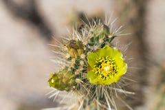yellow cactus flowers. Stock Image
