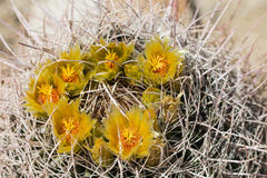 Yellow cactus flowers. Royalty Free Stock Image