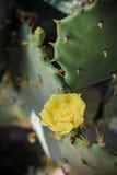 Yellow cactus flowers Stock Image