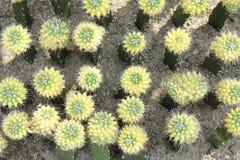 Yellow cactus Stock Photos
