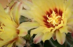 Yellow cactus plant flower Stock Photo
