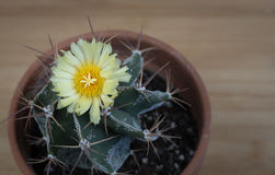 Yellow cactus plant flower Royalty Free Stock Photos