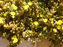 Yellow cactuses Royalty Free Stock Photography