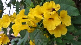 Yellow Caesalpinia flower with insect. royalty free stock photography
