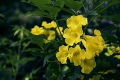 Yellow Caesalpinia with green shadow background. stock photos