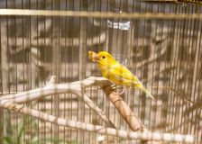 Yellow in the cage Royalty Free Stock Photos