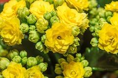 Yellow Calandiva flowers Kalanchoe, family Crassulaceae, close up. Bokeh background stock image