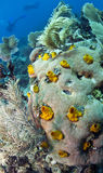 Yellow Calcareous sponges Stock Photography