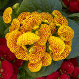 Yellow calceolaria flowers Royalty Free Stock Photos