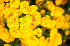 Yellow calceolaria flowers Stock Image