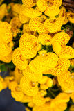 Yellow calceolaria flowers Royalty Free Stock Photography