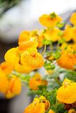 Yellow calceolaria flowers Royalty Free Stock Image