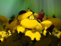 Yellow calceolaria flowers and purpuls in very close up stock image