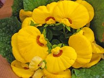 Yellow calceolaria flowers royalty free stock images
