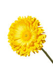 Yellow Calendula Royalty Free Stock Photo