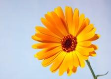 Yellow calendula. Against blue background Stock Image