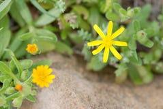 Yellow Calendula arvensis flower Royalty Free Stock Photography