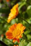 Yellow calendula flower Stock Photos