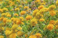 Yellow calendula flower background Royalty Free Stock Photography
