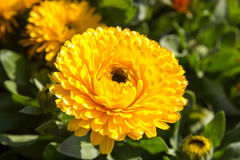 Yellow calendula flower Stock Photo